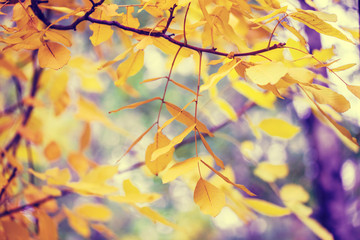Walnut tree branches with yellow leaves in autumn forest