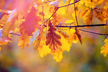 Oak branches with orange leaves in autumn forest