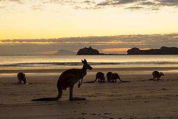 Kangaroos on Cape Hillsborough National Park Beach Australia