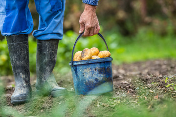 Farmer holding blue bucket with fresh organic potatoes.