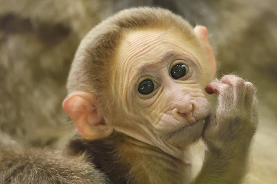 Portrait of young Tibetan macaque, Tangjiahe National Nature Reserve, China
