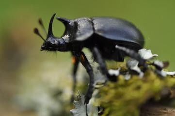Rhinoceros beetle on moss