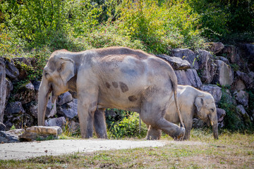Éléphanteau et Éléphant d'Asie