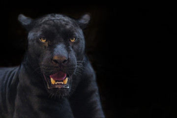 Poster Panther black panther shot close up with black background