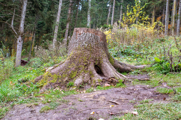 Old stumps on the forest. Remains of the cut down forest.