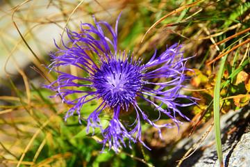 cyanus montanus flower