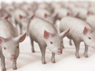 3d rendered illustration of a lot of pigs