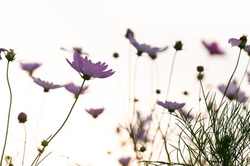 cosmos in the sunset