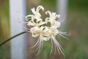 cluster amaryllis white