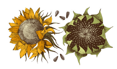 Vector hand drawn sunflower