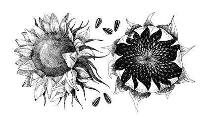 Vector hand drawn sunflower