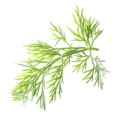 fennel isolated on a white background
