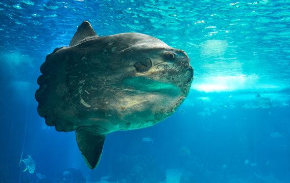 The ocean sunfish or common mola (Mola mola) in the Lisbon Oceanarium in Portugal.