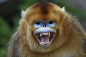 Golden snub nosed monkey teeth Fototapete