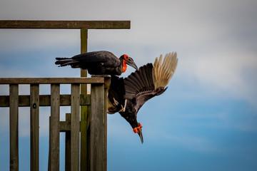 Les vautours