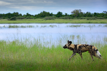 Hunting painted dog with big ears, beautiful wild animal in nature habitat, Moremi,  Botswana, Africa. African wild dog, Lycaon pictus, walking in the lake.