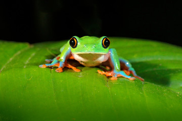 Agalychnis annae, Golden-eyed Tree Frog, green and blue frog on leave, Costa Rica. Wildlife scene from tropical jungle. Forest amphibian in nature habitat. Dark background.
