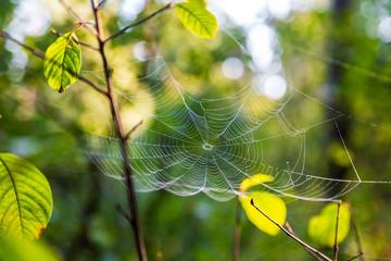 Spindelnät med dagg i solsken