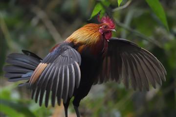 Male red junglefowl