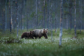 Bear family in summer cotton grass. Bear cub with mother. Beautiful animals hidden in the forest. Dangerous animals in nature forest and meadow habitat. Wildlife scene from Finland near Russian border