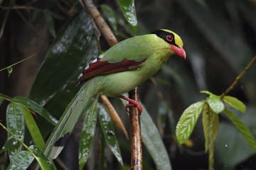 Common green magpie china