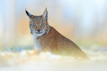 Portrait of Eurasian Lynx, wild cat on the meadow. Wildlife scene from nature. Cute big cat hidden in the grass.