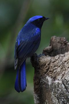 Large Niltava bird