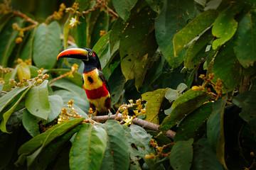 Wall Mural - Fiery-billed Aracari, Pteroglossus frantzii, bird with big bill. Toucan sitting on the branch in the forest, Boca Tapada, Laguna de Lagarto Lodge, Costa Rica. Birdwatching travel in central America.