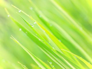 Macro waterdrop on green rice plant 3