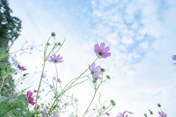 Pink cosmos flower extending towards the sky
