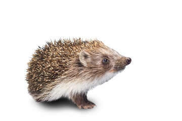 Hedgehog with an interesting view is isolated on a white background
