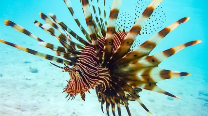 Close-up of a Spotfin Lionfish (Pterois Antennata), Maldives.
