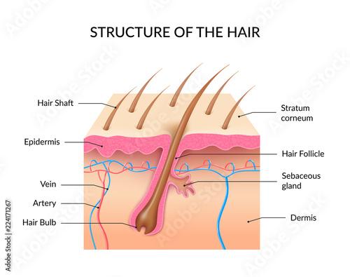 Realistic Human Hair Anatomy Infographics Stock Image And Royalty