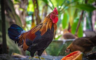 Chicken Fighting Cock