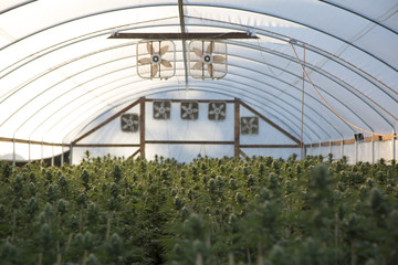 On a  cannabis farm with workers.