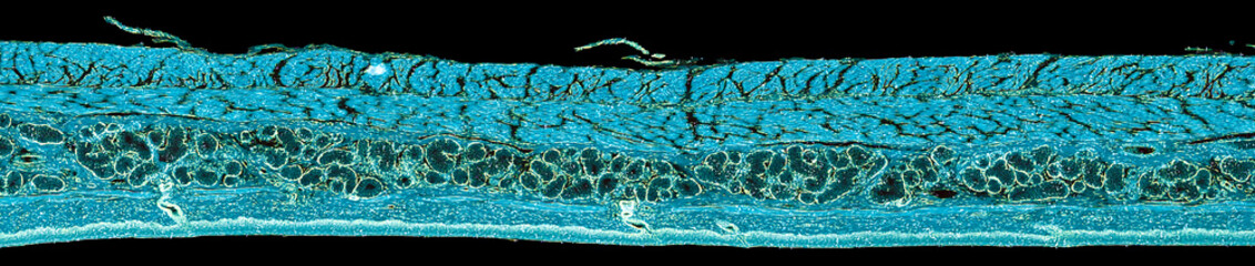 stratified squamous epithelium - cross section cut under the microscope – microscopic view of animal cells for education