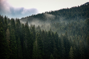 Texture of conifers with fog between them.