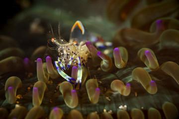 Anemone Shrimp on anemone underwater