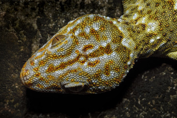 Tokay gecko china