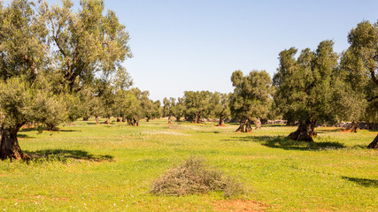 Olive trees in the countryside of Ostuni in Salento on the Adriatic sea