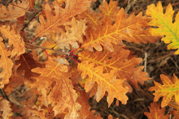 Red and yellow oak autumn leaves on the branch of tree