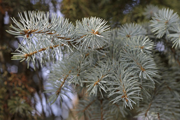 Blue spruce tree pins background in horisontal position