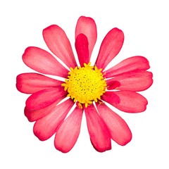 Red flower isolated on white background. Beautiful blossom with yellow pollen. ( Clipping path )