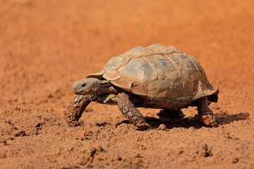 Leopard tortoise (Stigmochelys pardalis) walking, South Africa.