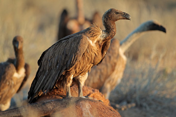 White-backed vultures (Gyps africanus) scavenging on a carcass, South Africa.