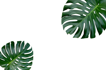 Two Monstera plant leaves, the tropical evergreen vine top view flat lay isolated on white background
