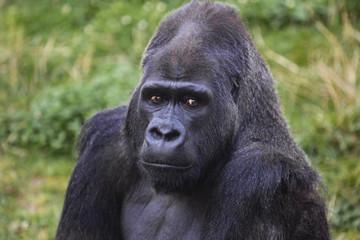 Silverback Male Gorilla Portrait