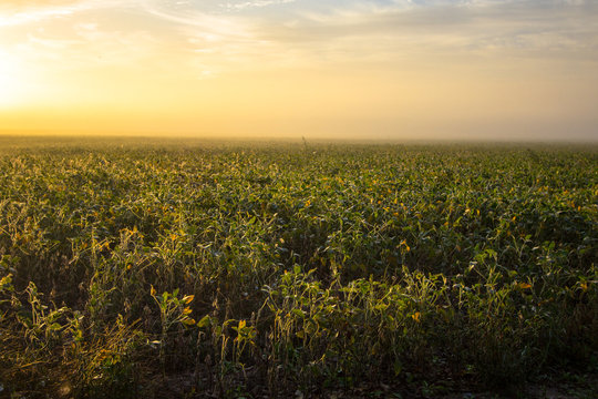 Soybean Field At Foggy Sunrise. Agriculture field with soybeans and wildflowers in the foreground.
