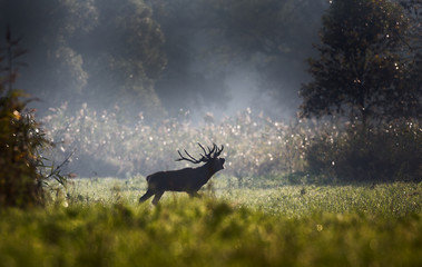 Red deer roaring in forest