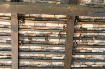 Bats hang under brown wooden roof